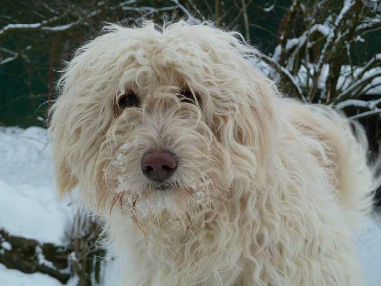 Bild Schifamhund im Schnee