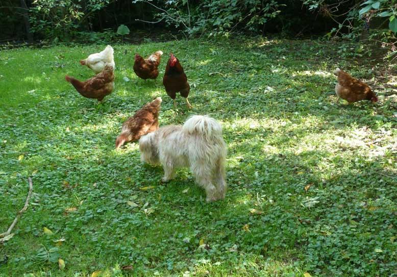 Bild Schifamhund und Hühner in Harmonie