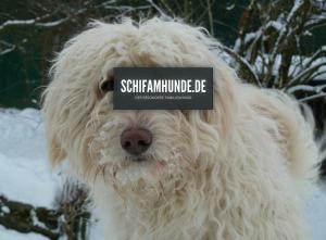 FireShot Screen Capture #076 - 'Schifamhunde I kinderlieb I Familienhund I Rasse I Züchter' - www_schifamhunde_de