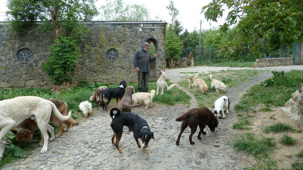 """Weil """"Schneemann"""" den """"Neuen"""" nicht in Ruhe lassen wollte, werden zur Ablenkung und Entspannung drei Hunde/Liegestützen fällig und schon durch diese kleine Übung geriet die vorherige Situation in Vergessenheit. Finger nach oben ist """"hinsetzen"""" – Finger nach unten ist """"hinlegen"""". Der Neue (Silber Labrador) schaut interessiert aber relativ entspannter (Rute flach zur Seite) zu. Ganz rechts der Braune Labrador heißt """"Jason"""". Er ist auch neu (vor ca. 15 Minuten gekommen), war aber auch schon öfters im Hundeurlaub. Er kennt ähnliche Übungen von früher und Ihn interessiert viel mehr - was er neues auf dem Boden (wie in einer Zeitung lesen) erschnüffeln kann."""