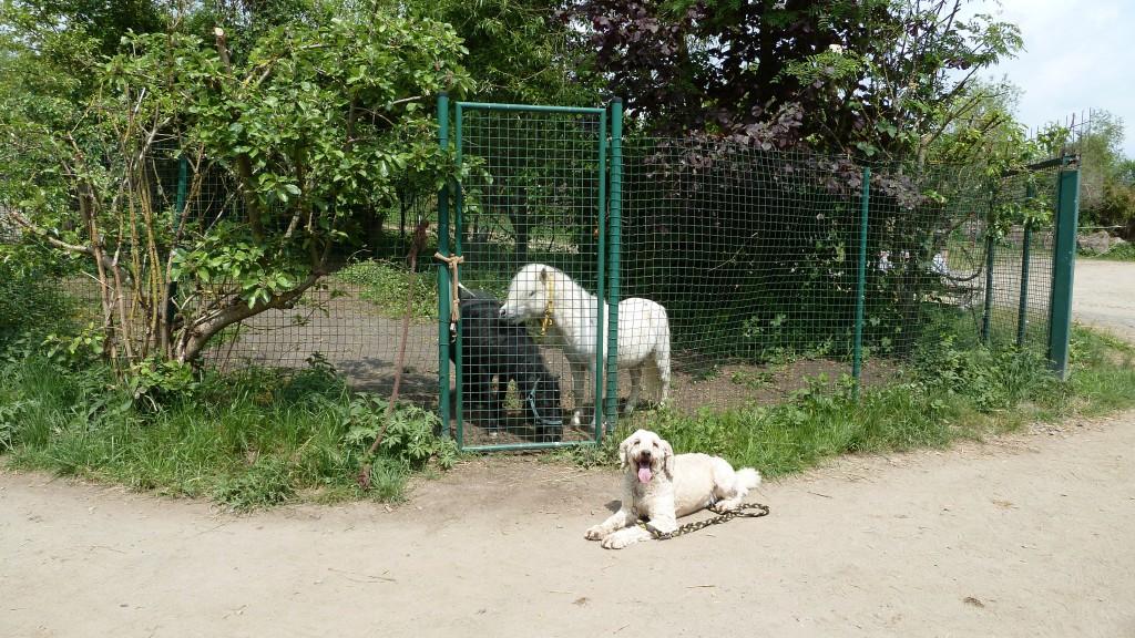 """""""Schneemann"""" beim Spaziergangtraining am Ponyhof. Die quirligen Ponys waren im nicht ganz geheuer. Aber schnell hat er verstanden, dass ihm nichts passiert, wenn er mitmacht und dass er mir (als menschlicher Leithund) vertrauen kann."""