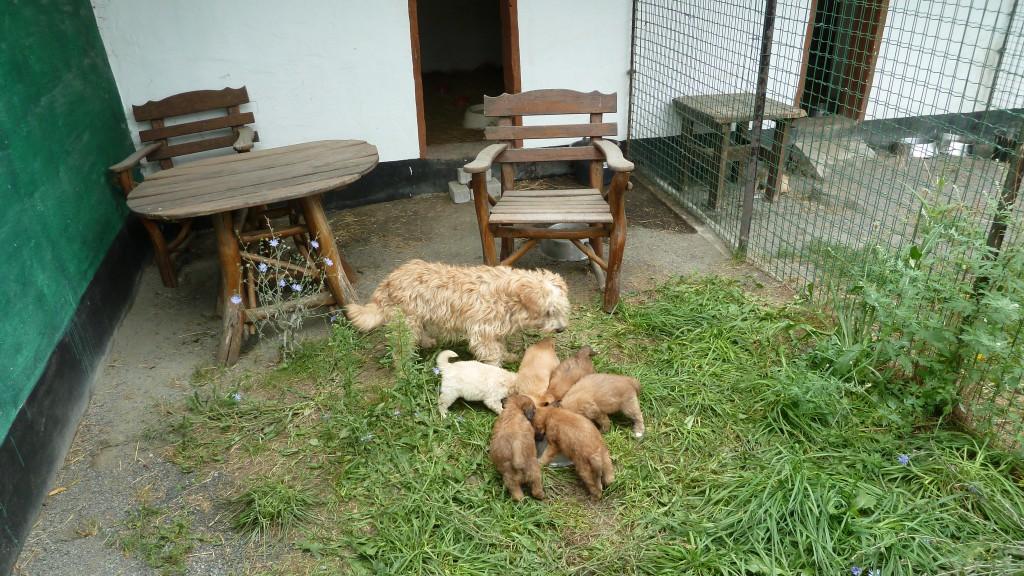 """Das ist die Schifamhündin """"Bigpa"""" mit ihren Welpen (4 Rüden und 2 Hündinnen), geb. am 3.7.2015 > eine Hündin und einen Rüden behalten wir für unsere Hundepension > wenn sie ausgewachsen sind, werden sie als Begleithunde für Hundepensionsgäste oder in der Hundeschule mithelfen."""